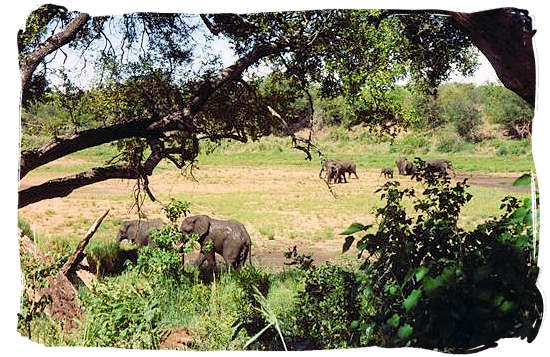 Elephants in a riverbed - Shingwedzi Rest Camp, Kruger National Park, South Africa