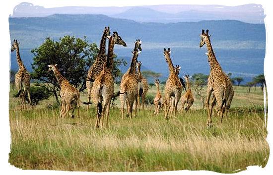 Herd of running Giraffes in the Kruger National Park