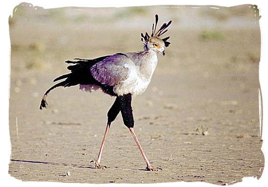 The Secretary Bird appears on the South African Coat of Arms.