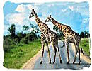 Two Giraffes crossing the road