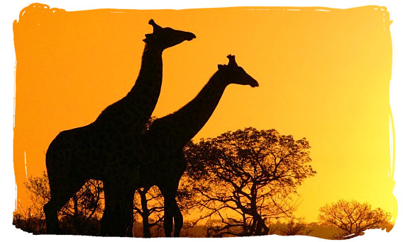 Sunrise over the South African bushveld - Marakele National Park in South Africa