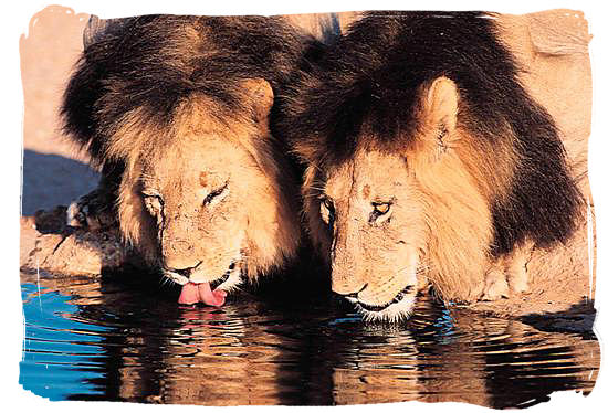 Two very thirsty male lions