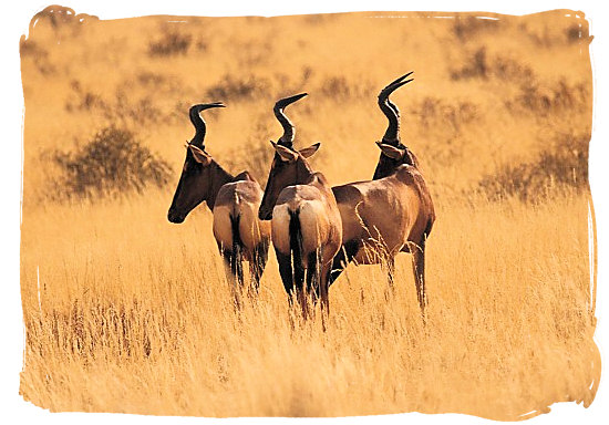 The endangered Red Hartebeest antelope - Mokala National Park in South Africa, endangered African animals