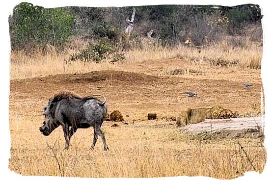 Warthog walking into the Lion's den