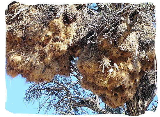 Huge bunches of nests built by the sociable Weaver in the Kalahari desert - Kgalagadi Transfrontier National Park in South Africa