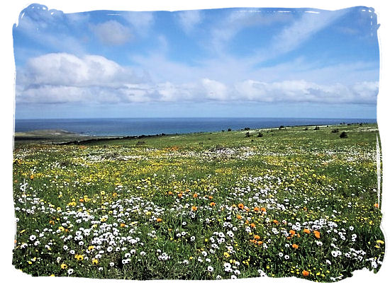 In spring the park is covered with a stunning blanket of flowers - West Coast National Park vegetation, South Africa National Parks