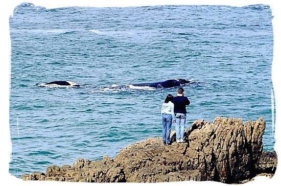 Southern Right Whales frolicking just off the Park's shoreline - West Coast National Park Activity, South Africa National Parks