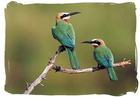 White fronted Bee-eaters - Crocodile Bridge rest camp in the Kruger National Park