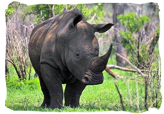 This White Rhino is keeping its eye on us - Shimuwini bushveld camp, Kruger National Park