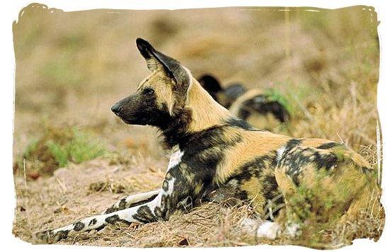 Wild dogs near Punda Maria rest camp