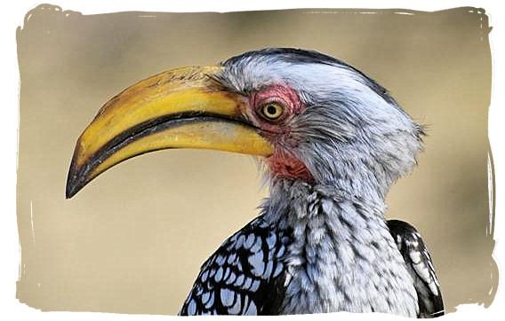 Yellow-billed Hornbill - Biyamiti bushveld camp