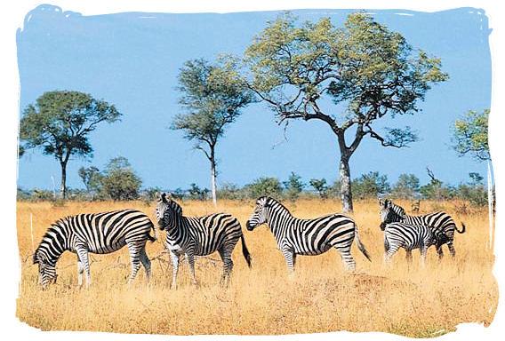Zebras - Kruger National Park Camps, Kruger National Park, Map, Tours, Safaris