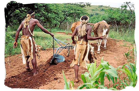 Zulus ploughing the land like in the old days