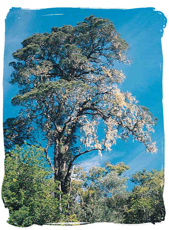 The Yellow-Wood tree - South African National Symbols, National Symbols of South Africa