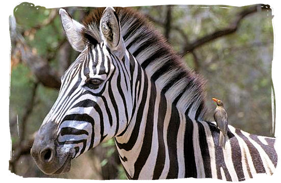 Zebra with oxpecker on its back - Sirheni Bushveld Camp, Kruger National Park Safari, South Africa