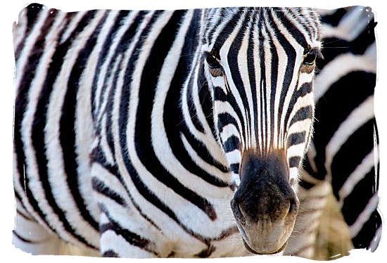 Zebra stripes and eyes