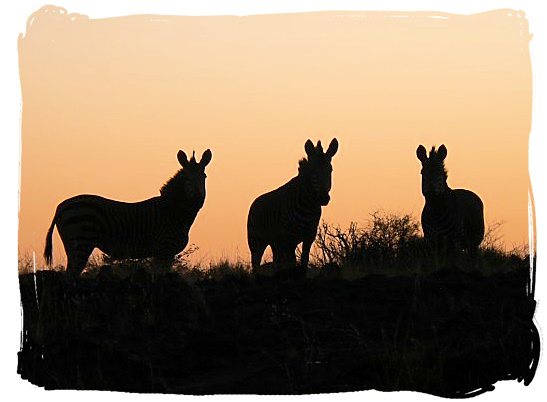 A beautiful Zebra sunset - about the Cape Mountain Zebras in the Mountain Zebra National Park