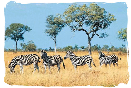 Zebras on the African savannah - Biyamiti bushveld camp