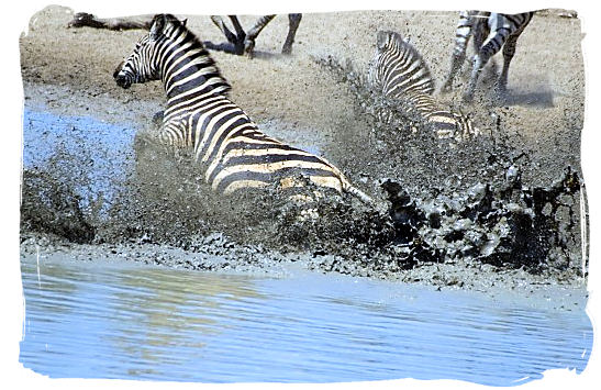 Getting away from the Crocodiles - The endangered Mountain Zebras in the Mountain Zebra National Park