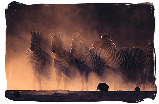 Zebras in the dust - the endangered Mountain Zebras in the Mountain Zebra National Park