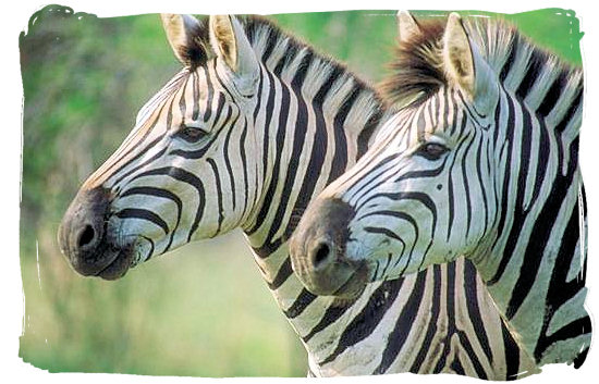 Olifants Restcamp, Kruger National Park, South Africa - Zebras