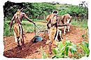 Zulus ploughing with oxen